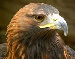 Aguila real de Monfragüe