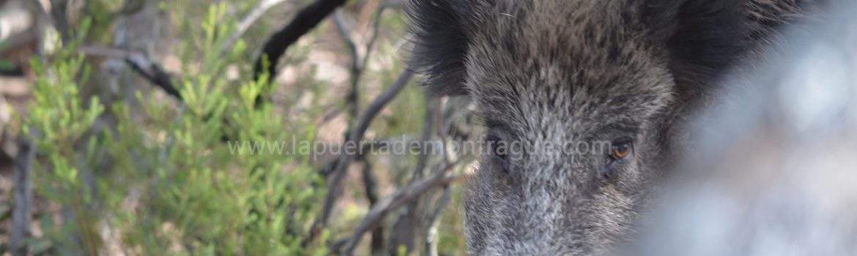Jabalí en el parque nacional de monfrague