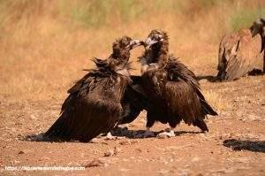 Fotos del buitre negros en hide la cañada