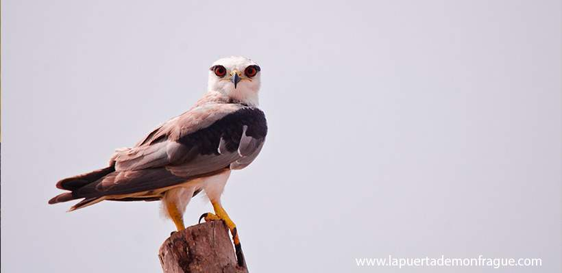 Birding en Monfrague Eleanio común