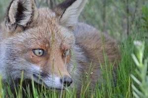 zorro rojo en la puerta de Monfragüe