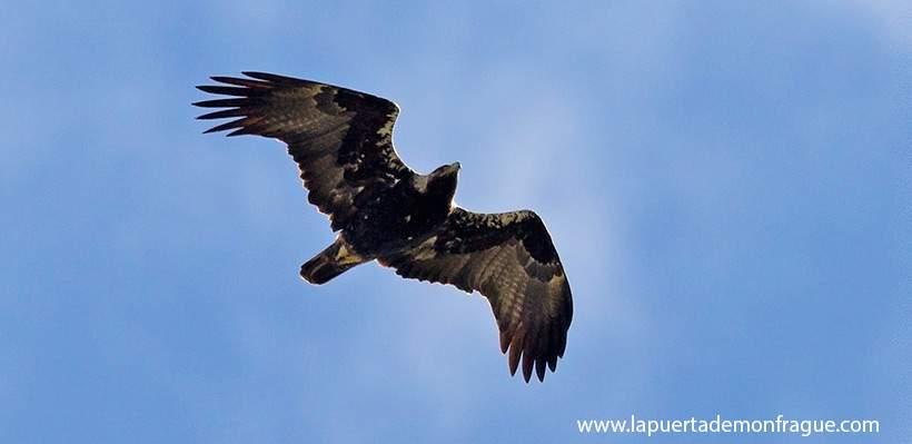 Birding en Monfrague Águila Imperial Ibérica