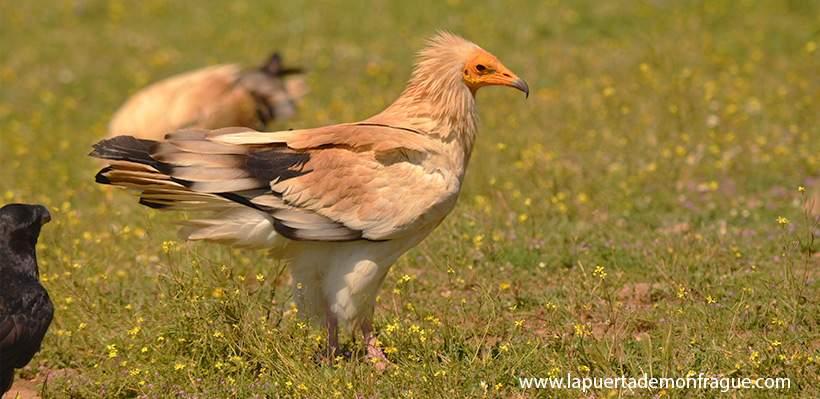 Birding en Monfrague Alimoche