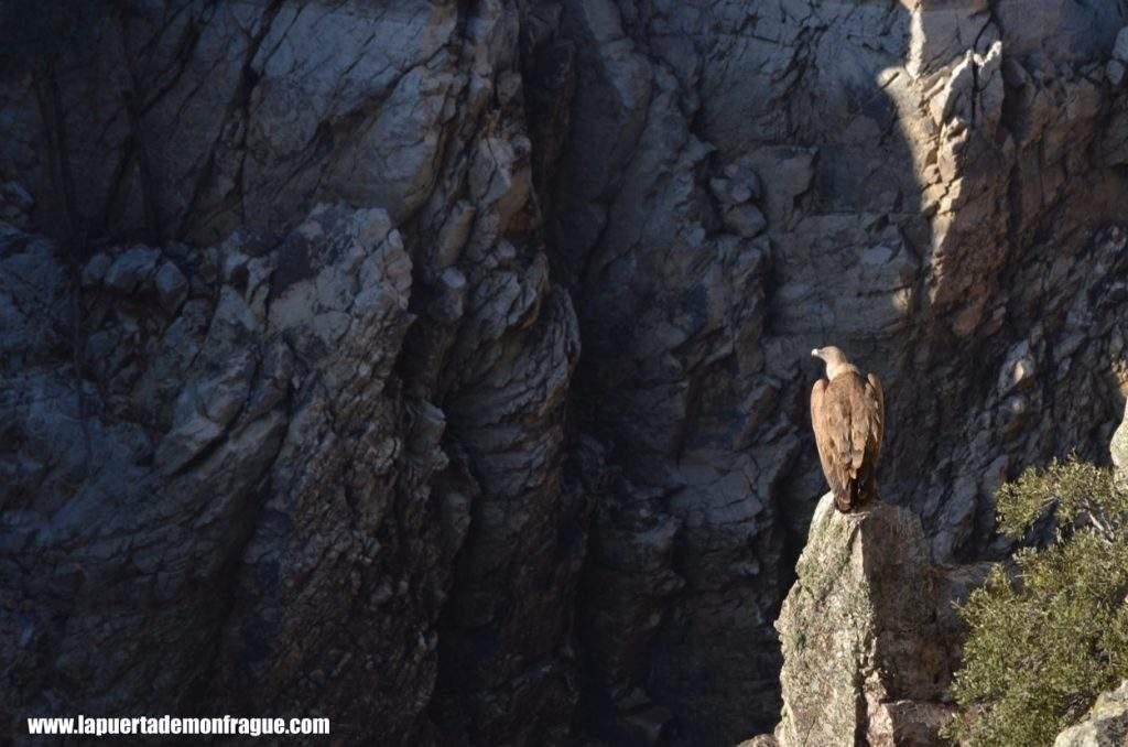 Buitre leonado en Acantilado