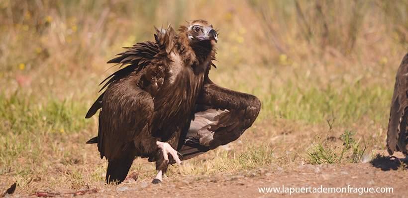 Birding en Monfrague buitre negro
