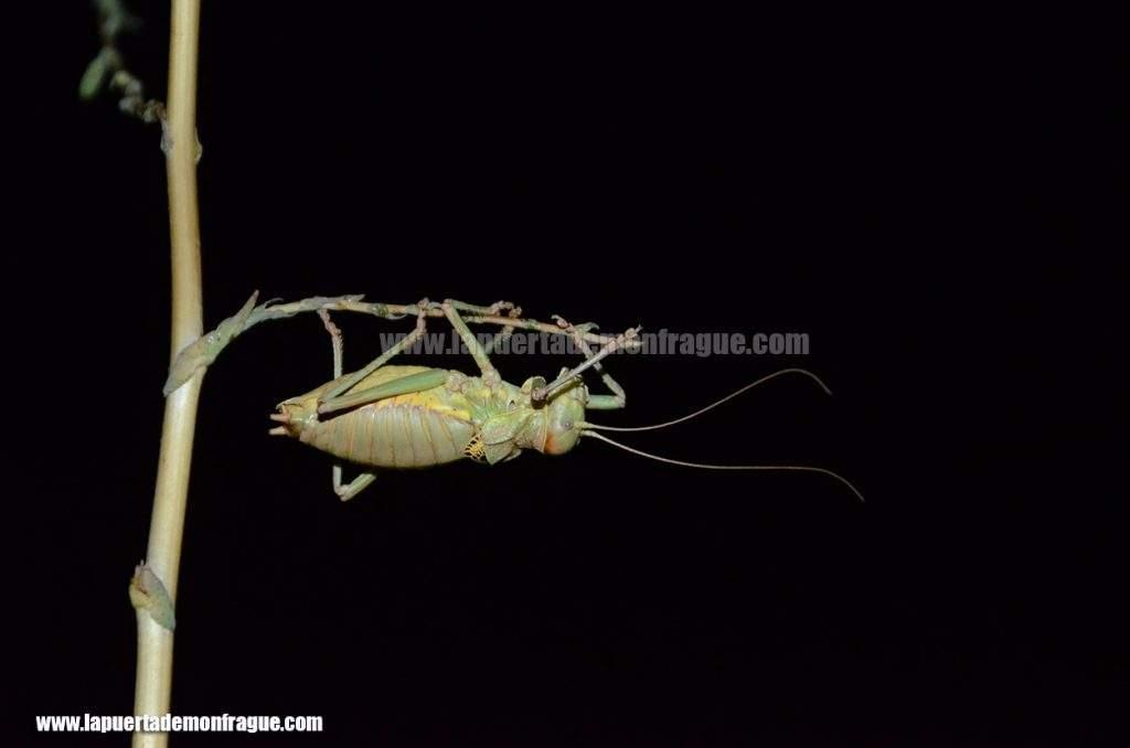 Chicharra alicorta (Ephippiger ephippiger)