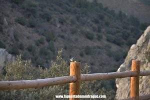 Herrerillo en el Parque Nacional de Monfragüe