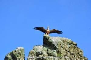 Buitre en roca Salto del Gitano