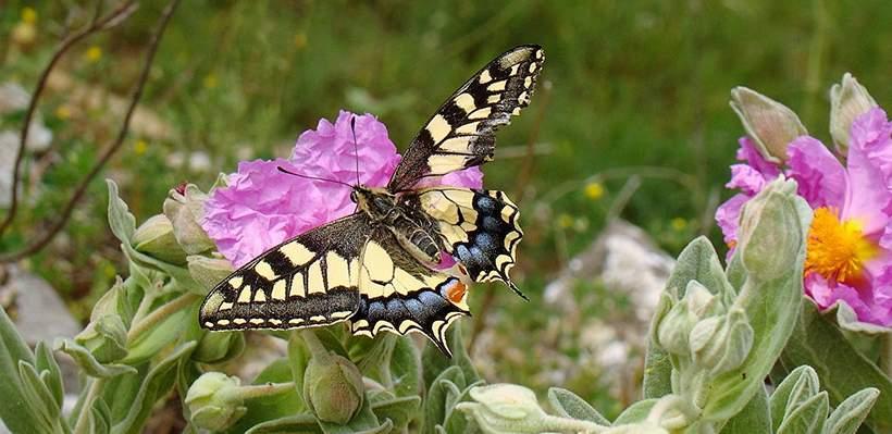 Mariposa Macaón Monfragüe