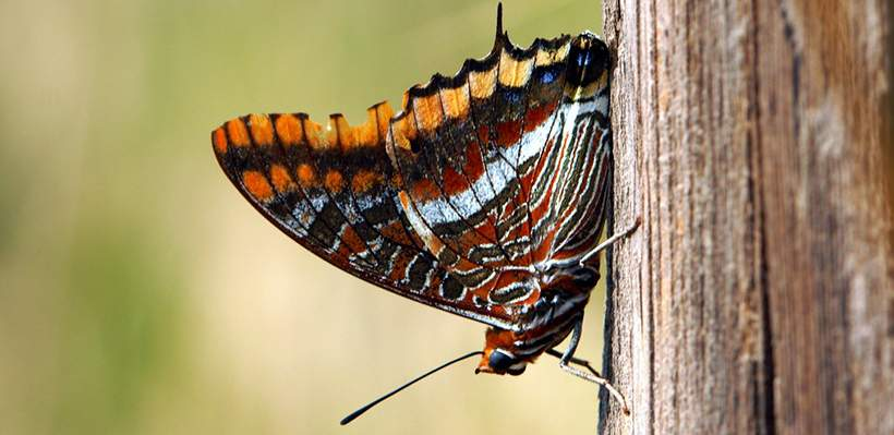 Mariposas del madroño Monfragüe