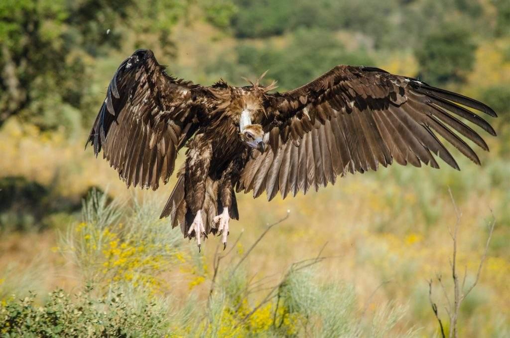 Buitre Negro - Marcos Aguilar - Fotografía realizada en el Parque Nacional de Monfrague.
